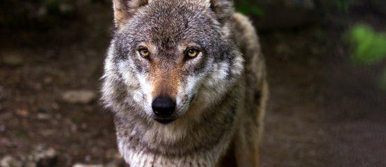 Der letzte Wolf in der Menzer Heide
